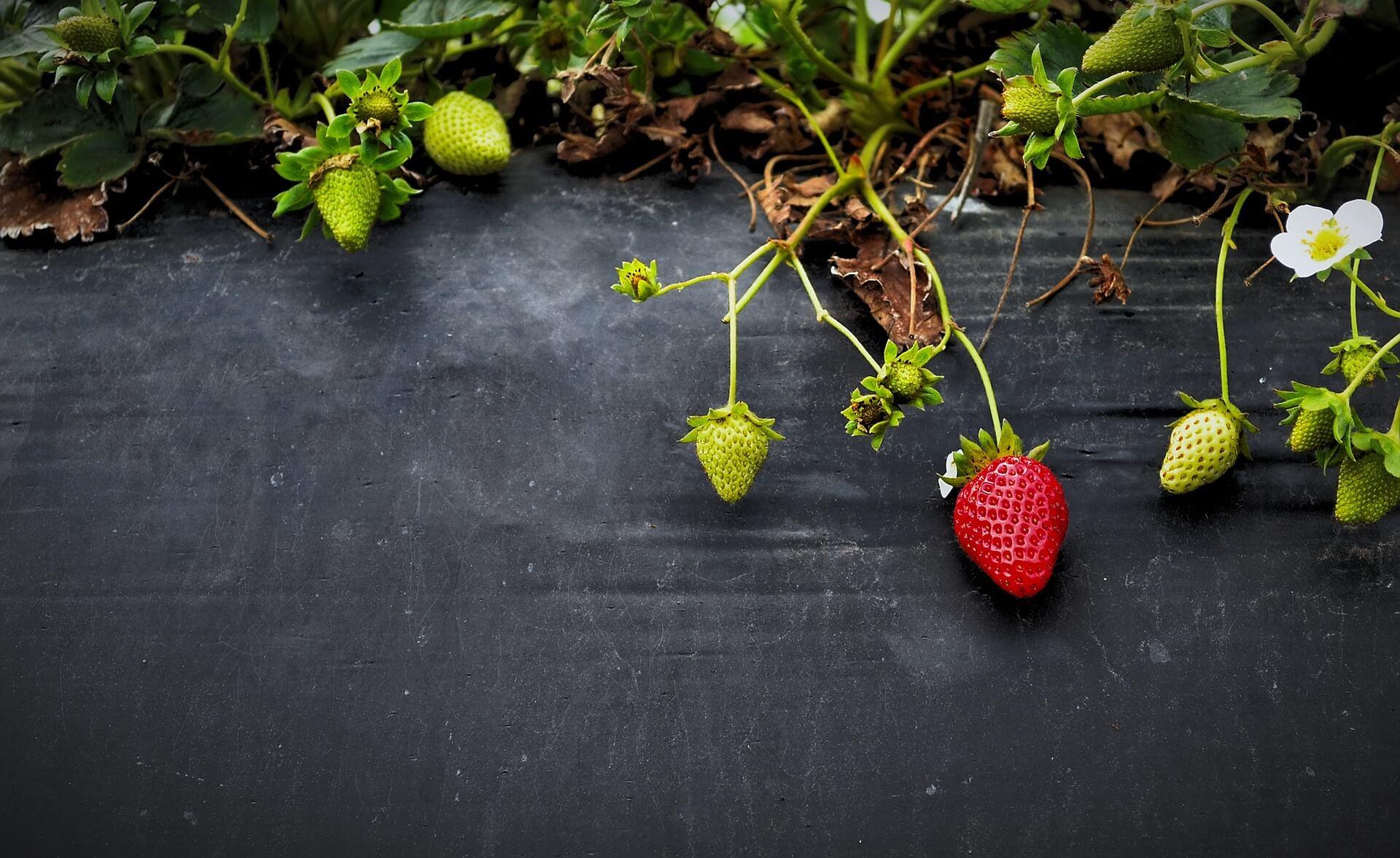 como sembrar fresas
